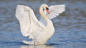 Picture of Swan